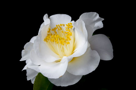 Camellia white flower