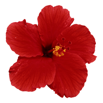 Hibiscus Powder Treatments For Hair And Skin Henna Blog Spot